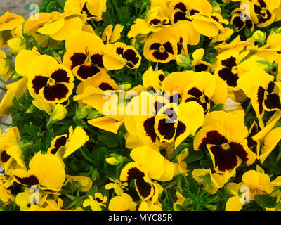 Yellow Pansy plants with a blotch in a garden centre for sale ready for spring planting - Stock Image