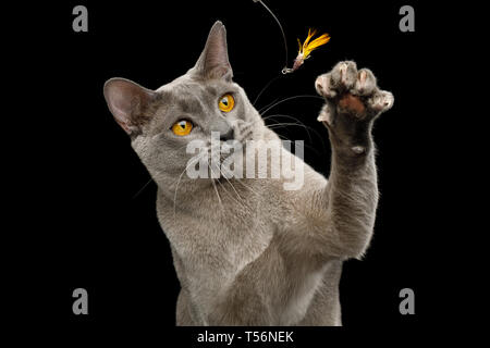 Portrait of Playful Gray Cat Raising paw with claw to catch toy on isolated black background - Stock Image