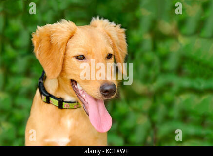 Happy dog is a cute happy dog smiling with his mouth open happy to be outdoors. - Stock Image