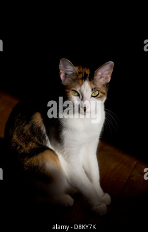 Female calico cat basking in the sun, on the wood floor - Stock Image