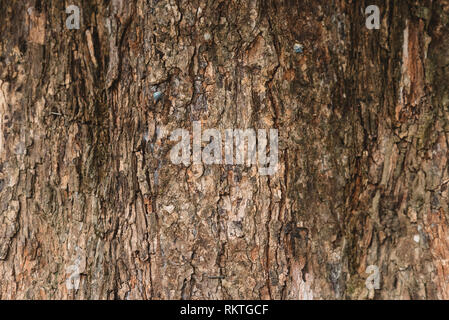 full frame image of a old and aged tree bark for background. horizontal orientation - Stock Image