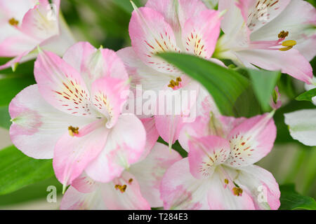 Pink Alstromeria or Peruvian lily flowers in umbel cluster with striped tepals - Stock Image