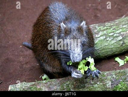 Cuban or Desmarest's Hutia (Capromys pilorides) feeding, using front paws. - Stock Image