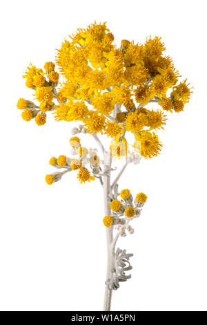 silver ragwort isolated on white background - Stock Image