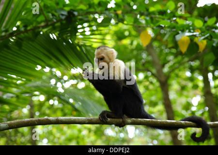 Capuchin Monkey eating in tree, Manuel Antonio, Costa Rica. - Stock Image