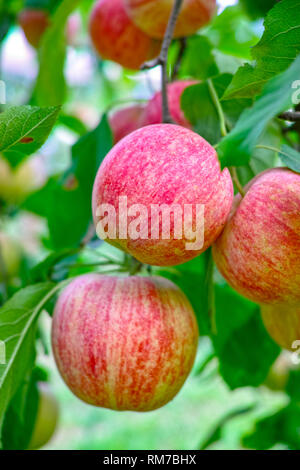 New harvest of healthy fruits, ripe sweet red apples growing on apple tree close up - Stock Image