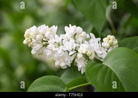 Syringa vulgaris 'Madame Lemoine'  flowers. - Stock Image