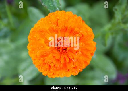 Marigold orange - Stock Image