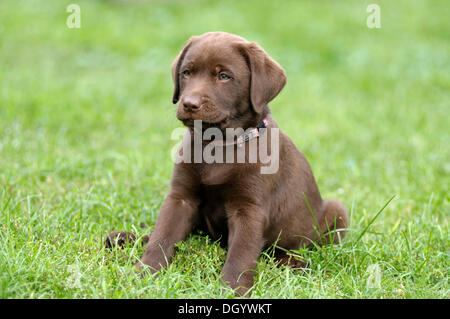 Brown Labrador Retriever, puppy sitting in a meadow - Stock Image