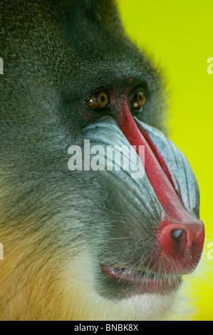 Mandrill baboon up close - Stock Image