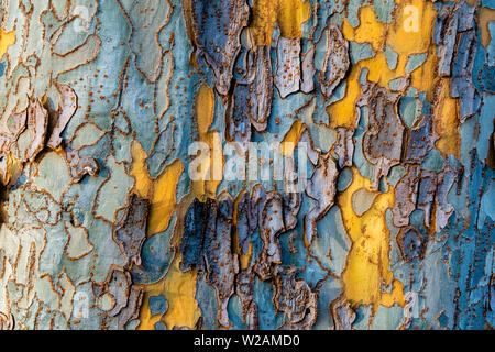 The bark of a sycamore tree displaying the colors yellow, blue and purple- texture or background - Stock Image