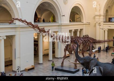 Fossil skeleton of Máximo Titanosaur Patagotitan mayorum, the largest dinosaur ever found, in display. The Field Museum, Chicago, Illinois, USA. - Stock Image