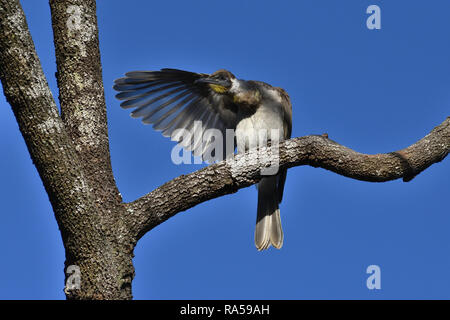 An Australian, Queensland Immature Little Friarbird ( Philemon citreogularis ) perched on a tree branch preening its wing - Stock Image