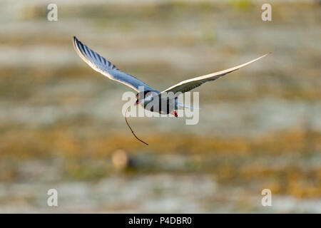 White-cheeked Tern in flight carrying a branch for a nest in Danube Delta, Romania - Stock Image