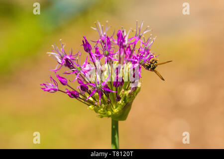 The bud of a purple allium starting to flower with a wasp - Stock Image