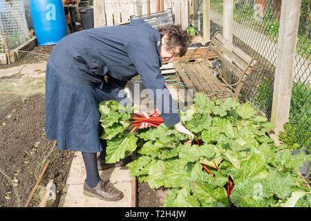 Older woman picking rhubarb on an allotment, England, UK - Stock Image