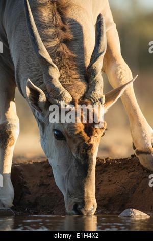 Eland (Taurotragus oryx) drinking, Mashatu game reserve, Botswana, Africa - Stock Image
