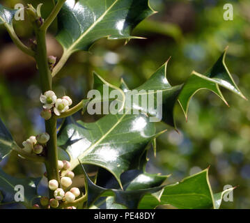 Small white female flowers on a single sex, dioecious,  holly tree (Ilex aquifolium). Bedgebury Forest, Hawkhurst, Kent, UK. - Stock Image