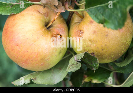 A close up of apples from an orchard with a ladybug on it. apples damaged by hail storm. - Stock Image