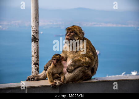 GIBRALTAR / GREAT BRITAIN - OCTOBER 09 2017: MONKEYS ON TOP OF THE ROCK OF GIBRALTAR - Stock Image