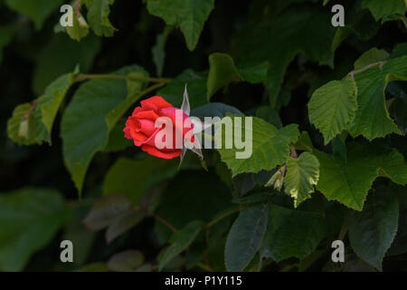 Single scarlet half opened rose bud projecting from the leaves of a dark green hedge - Stock Image