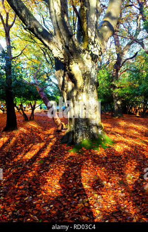 Glistening, golden trees in a forest in the autumn, fall, light is streaming through the trees casting high lights and shadows on the floor which is c - Stock Image