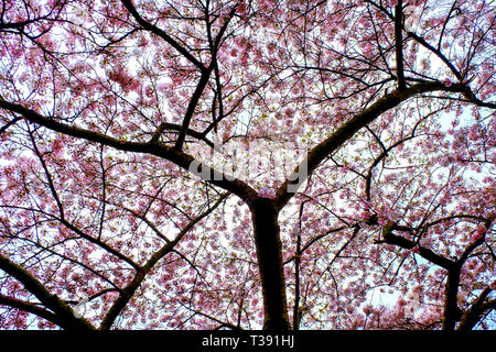 looking up into the pink cherry blossom tree canapy, the trunk of the tree and branches are silhouetted black and behind is a lush pink tree canapy of - Stock Image