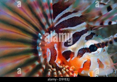 Close-up of a Zebra lionfish (Dendrochirus zebra), Lembeh Strait, Sulawesi, Indonesia - Stock Image