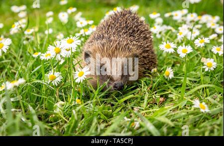 Hedgehog, (Scientific name: Erinaceus Europaeus) wild, native, European hedgehog in natural garden habitat with green grass & white daisies. Landscape - Stock Image