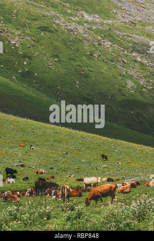 Cows farming in mountain green valley grass summer highland pasture landscape organic animal agriculture - Stock Image