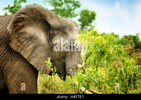 Side view portrait of a beautiful elephant eating tree leaves, big wild animal, safari game drive, Eco travel and - Stock Image