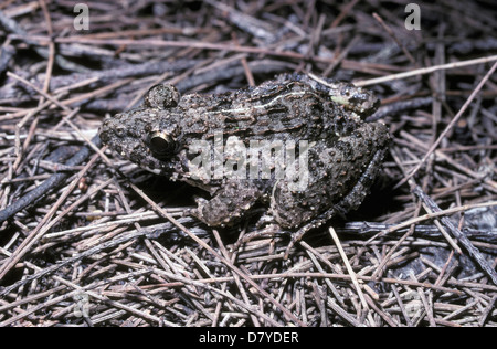 Cricket frog (Fejervarya / Limnonectes limnocharis: Ranidae) juvenile, Thailand. - Stock Image