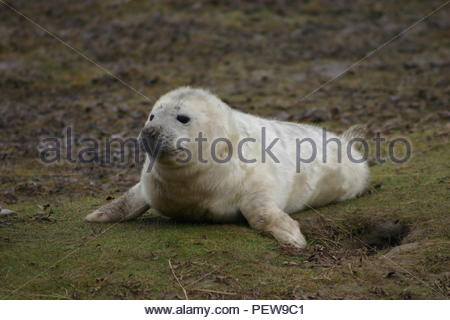 New born Grey Seal pup alone and alert on some grass. - Stock Image