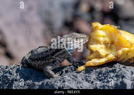 Wall lizard resting on lava rock eating discarded banana, La Palma, Canary Islands, Spain - Stock Image