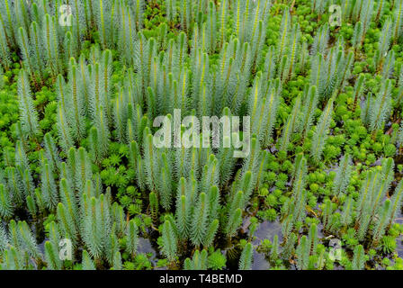 mares tail - Stock Image
