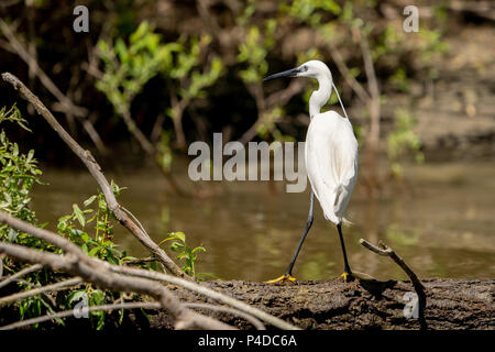 White Heron Egret (Ardea Alba) witting on a bench in the Danube Delta. Great White Heron - Stock Image