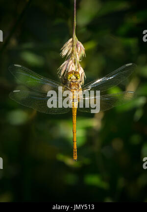 A back view of a common darter dragonfly with wings spread on a grass seed head - Stock Image