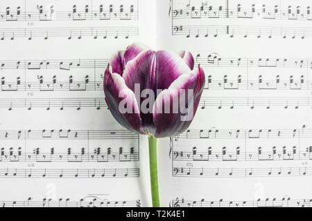 Detail of dark purple tulip on a musical score. - Stock Image