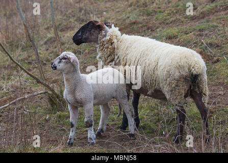 A Sheep and a Lamb standing next to each other - Stock Image