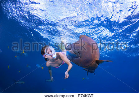 Scuba diving with humphead wrasse - Stock Image