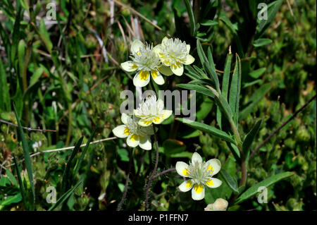 Cream cups, Platystemon californicus,  Cuyamaca Rancho State Park, CA 080518_30386 - Stock Image