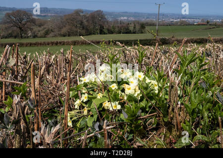 Wild primroses growing within a devon bank hedge, near OPttery St Mary, Devon. - Stock Image