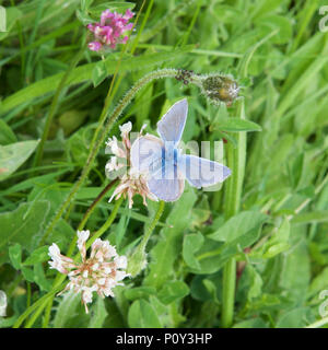 Surrey, UK. 10th June 2018. UK Weather: Butterflies on the North Downs, Surrey. A Common Blue Butterfly Polyommatus icarus rests on grass in a meadow on the North Downs at Colley Hill, Reigate, Surrey. 1540hrs Sunday 10th June 2018. Photo ©Lindsay Constable / Alamy Live News - Stock Image