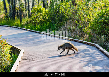 Okefenokee Swamp, Folkston, GA, USA-3/30/19: An American raccoon, dripping wet from the swamp, crosses a tourist boardwalk in Okefenokee swamp. - Stock Image