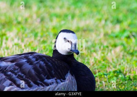 Amenities Barnacle Goose - Stock Image