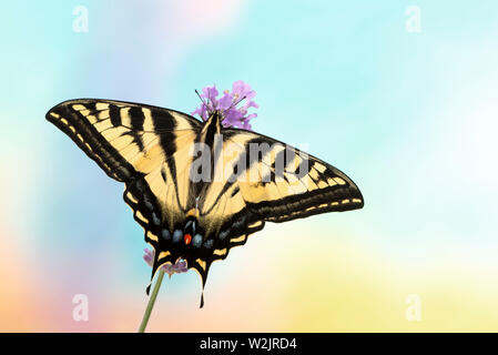 Top view of a western tiger swallowtail butterfly (Papilio rutulus)  - on a vibrant colourful background - Stock Image