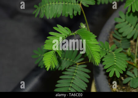 sensitive mimosa pudica or sleepy plant or dormilones or zombie plant with contact hairs that move when touched, touch me not plant macro shot - Stock Image