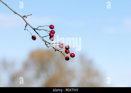 A single branch from a Hawthorn (Crataegus Monogyna) with ripe red berries or haws against a blue autumn sky. Chippenham Wiltshire UK - Stock Image