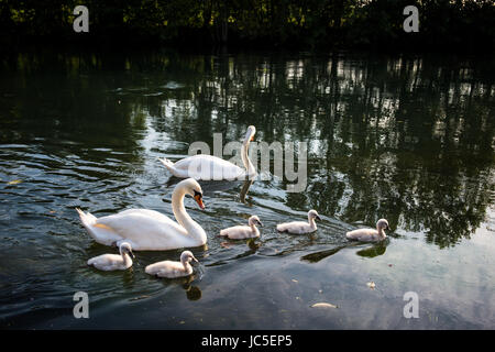 Mute swan (Cygnus olor) family swimming in the river - Stock Image