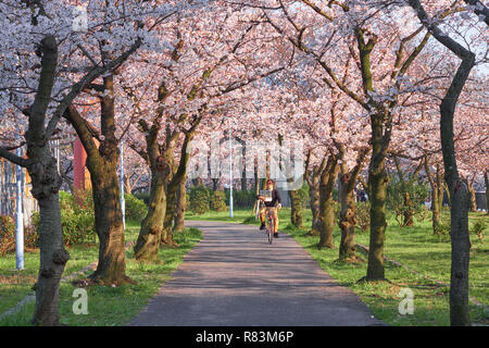 Japanese man riding his bicycle carrying a bird in a cage on a path under blooming cherry trees. - Stock Image